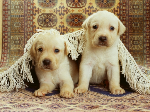 wallpaper puppies. puppies desktop wallpapers.