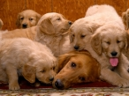 Dog and   puppies desktop wallpapers|free hq hd wallpapers Dog and   puppies