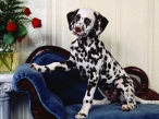 Dalmatian on couch desktop wallpapers|free hq hd wallpapers Dalmatian on couch