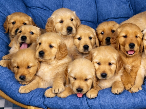 Puppies desktop wallpapers. Puppies free hq wallpapers. Puppies