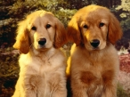 Dogs desktop wallpapers|free hq hd wallpapers Dogs