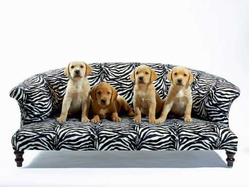 Puppies on the couch desktop wallpapers. Puppies on the couch free hq wallpapers. Puppies on the couch
