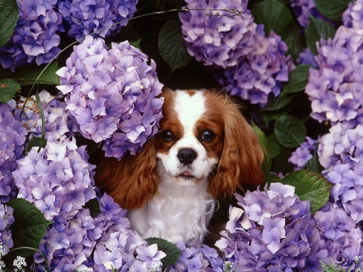 Dog in purple flowers desktop wallpapers. Dog in purple flowers free hq wallpapers. Dog in purple flowers