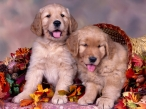 Dogs and automn basket desktop wallpapers|free hq hd wallpapers Dogs and automn basket