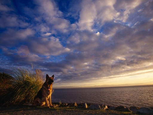 German dog at sunset desktop wallpapers. German dog at sunset free hq wallpapers. German dog at sunset