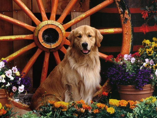 Dog at the wheel desktop wallpapers. Dog at the wheel free hq wallpapers. Dog at the wheel