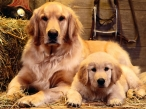 Dog and puppy Dogs in a shed desktop wallpapers|free hq hd wallpapers Dog and puppy Dogs in a shed