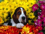 Dog and yellow flowers desktop wallpapers|free hq hd wallpapers Dog and yellow flowers