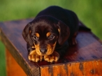 Black puppy desktop wallpapers|free hq hd wallpapers Black puppy