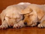 Dog sleep desktop wallpapers|free hq hd wallpapers Dog sleep