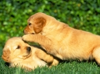 Puppies on grass desktop wallpapers|free hq hd wallpapers Puppies on grass