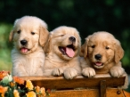 Puppies on bench desktop wallpapers|free hq hd wallpapers Puppies on bench