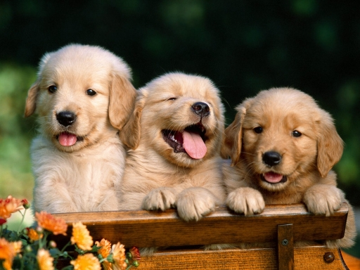 Puppies on bench desktop wallpapers. Puppies on bench free hq wallpapers. Puppies on bench