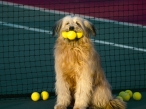 Dog and tenis desktop wallpapers|free hq hd wallpapers Dog and tenis