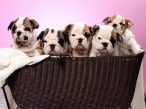 Puppies in basket desktop wallpapers|free hq hd wallpapers Puppies in basket