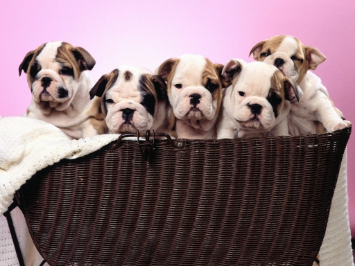 Puppies in basket desktop wallpapers. Puppies in basket free hq wallpapers. Puppies in basket