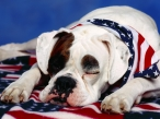 USA dog desktop wallpapers|free hq hd wallpapers USA dog