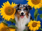 Dog and Sunflowers desktop wallpapers|free hq hd wallpapers Dog and Sunflowers
