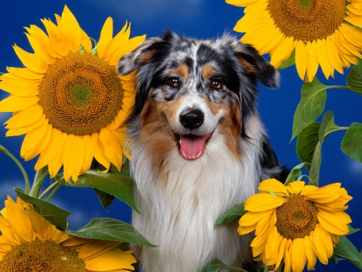 Dog and Sunflowers desktop wallpapers. Dog and Sunflowers free hq wallpapers. Dog and Sunflowers