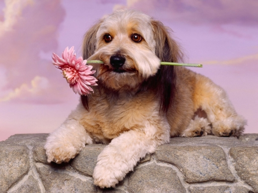 Dog with flower desktop wallpapers. Dog with flower free hq wallpapers. Dog with flower