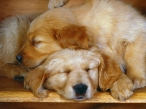Dogs sleep desktop wallpapers|free hq hd wallpapers Dogs sleep