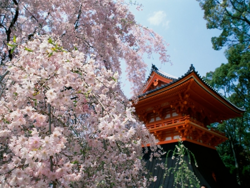 Cherry Blossoms  Ninnaji Temple  Kyoto  Japan desktop wallpapers. Cherry Blossoms  Ninnaji Temple  Kyoto  Japan free hq wallpapers. Cherry Blossoms  Ninnaji Temple  Kyoto  Japan