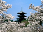Cherry Blossoms  Ninna Ji Temple Grounds  Kyoto  Japan desktop wallpapers|free hq hd wallpapers Cherry Blossoms  Ninna Ji Temple Grounds  Kyoto  Japan