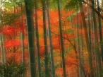 Bamboo Forest  Arashiyama Park  Kyoto  Japan desktop wallpapers|free hq hd wallpapers Bamboo Forest  Arashiyama Park  Kyoto  Japan
