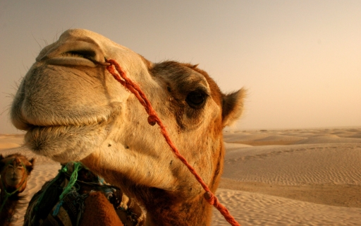 camel desktop wallpapers. camel free hq wallpapers. camel