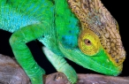 Chameleon desktop wallpapers|free hq hd wallpapers Chameleon