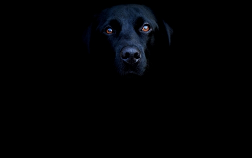 blacklab desktop wallpapers. blacklab free hq wallpapers. blacklab