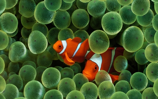 Clown Fish desktop wallpapers. Clown Fish free hq wallpapers. Clown Fish