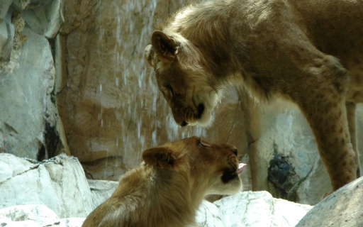 Lions and Waterfall desktop wallpapers. Lions and Waterfall free hq wallpapers. Lions and Waterfall