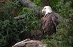 baldeagle desktop wallpapers|free hq hd wallpapers baldeagle