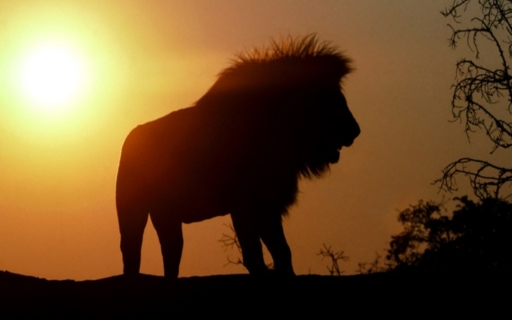 Lion desktop wallpapers. Lion free hq wallpapers. Lion