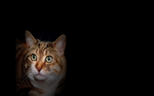 Housecat desktop wallpapers. Housecat free hq wallpapers. Housecat