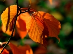 Golden leaves desktop wallpapers|free hq hd wallpapers Golden leaves